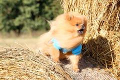 Portrait de chien pomeranian mignon Autumn Dog Chien dans un domaine Photo libre de droits