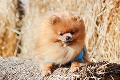 Portrait de chien pomeranian mignon Autumn Dog Chien dans un domaine Images stock