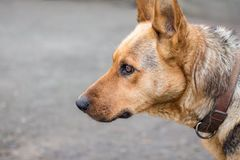 Portrait de chien de pur sang, look_ focalisé attentif Photos stock