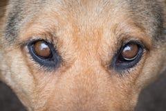 Portrait de chien de pur sang, look_ focalisé attentif Photographie stock