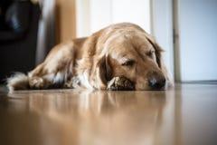 Portrait de chien de race de golden retriever à la maison Photo stock