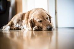 Portrait de chien de race de golden retriever à la maison Photographie stock libre de droits