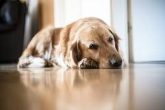 Portrait de chien de race de golden retriever à la maison Photographie stock