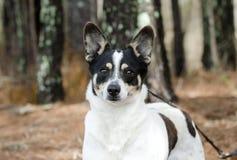 Portrait de chien de race mélangé par cattledog de Jack Russell Terrier photos libres de droits