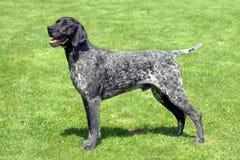 Portrait de chien rouan noir Photos stock