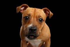 Portrait de chien rouge hybride images libres de droits