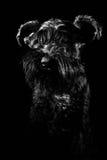 Portrait de chien sur le fond noir, schnauzer Photographie stock