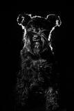Portrait de chien sur le fond noir, schnauzer Images stock