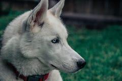 Portrait de chien de traîneau sibérien masculin de race dehors photos stock