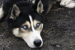 Portrait de chien de traîneau sibérien menteur avec des yeux bleus Image libre de droits