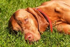 Portrait de chien de Vizsla de Hongrois dans la nature Indicateur hongrois Vizsla, reniflant sur la chasse Poursuivez un ami loya Image libre de droits
