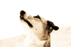 Portrait de chien, vue de côté, sépia  Image libre de droits