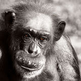 Portrait de chimpanzé avec la ligne de cheveux de recul Photo libre de droits