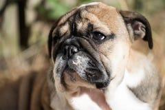 Portrait de chiot anglais de bouledogue 3 mois Images stock