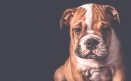 Portrait de chiot anglais de bouledogue Images stock