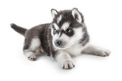 Portrait de chiot - chien de traîneau Images libres de droits
