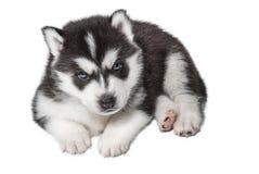 Portrait de chiot - chien de traîneau Photographie stock
