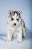 Portrait de chiot - chien de traîneau Images stock