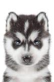 Portrait de chiot - chien de traîneau Photos libres de droits