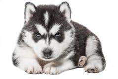 Portrait de chiot - chien de traîneau Photo stock