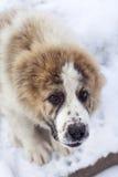 Portrait de chiot de berger asiatique central Photos libres de droits