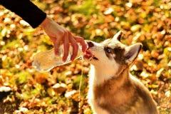 Portrait de chiot de roux le chien boit l'eau de la bouteille en plastique photo stock