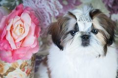 Portrait de chiot de tzu de Shih au studio Photo stock