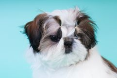 Portrait de chiot de tzu de Shih au studio Photo libre de droits