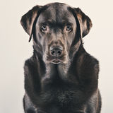 Portrait de chocolat adulte Labrador Photos stock