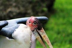 Portrait de cigogne de marabout Photos stock