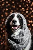 Portrait de conte de fées du ` s de nouvelle année d'un chien de border collie Image libre de droits