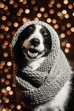 Portrait de conte de fées du ` s de nouvelle année d'un chien de border collie Photos libres de droits