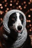 Portrait de conte de fées du ` s de nouvelle année d'un chien de border collie Photographie stock