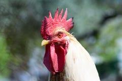 Portrait de coq Photographie stock libre de droits