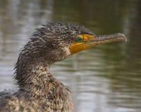 Portrait de Cormorant humide Image libre de droits