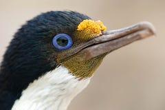 Portrait de Cormorant impérial photo libre de droits