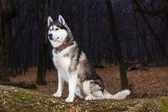 Portrait de couleur noire et blanche de chien de traîneau sibérien photo stock