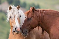 Portrait de couples de chevaux, Tyrol du sud, Italie Photo libre de droits