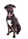 Portrait de croix noire de Labrador Image stock