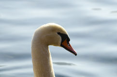 Portrait de cygne Photo stock
