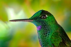 Portrait de détail d'oiseau brillant vert brillant Le colibri vert Vert-a couronné brillant, jacula de Heliodoxa en Costa Rica Pe photographie stock