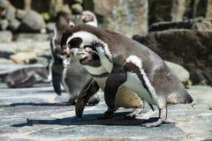 Portrait de détail d'un pingouin Deux pingouins avec un bec dans le moyen, recherchant une paire de pingouins Photographie stock