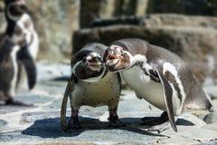 Portrait de détail d'un pingouin Deux pingouins avec un bec dans le moyen, recherchant une paire de pingouins Photos stock