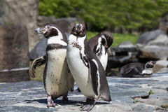 Portrait de détail d'un pingouin Deux pingouins avec un bec dans le moyen, recherchant une paire de pingouins Images stock