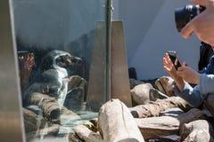 Portrait de détail d'un pingouin Pingouin dans le zoo derrière le mur de verre, tir de pingouin Image libre de droits