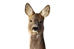 Portrait de daine de cerfs communs d'oeufs de poisson Photo stock
