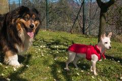 Portrait de deux beaux chiens dans le jardin Image stock