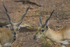 Portrait de deux cerfs communs Photos libres de droits
