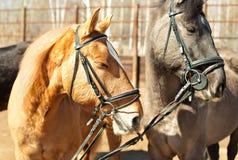 Portrait de deux chevaux Photographie stock
