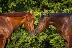 Portrait de deux chevaux Images stock